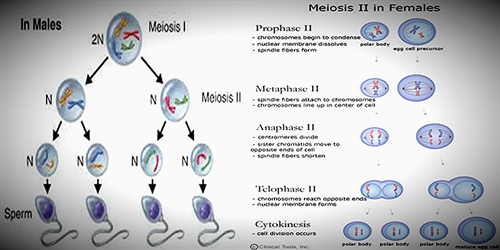 Difference between Meiosis in Males and Females
