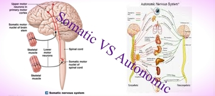 Difference between Somatic Nervous Systems and Autonomic Nervous Systems