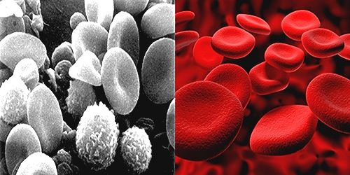 difference between white and red blood cells