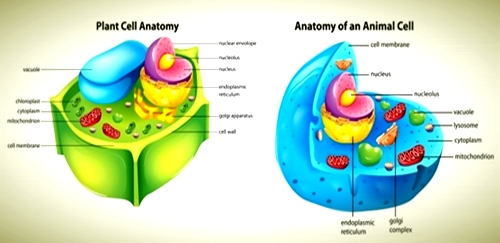Difference Between Plant And Animal Cells Researchpediafo